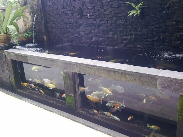 Tamasaba gold fish from japan johor bahru jb for Koi pond glass
