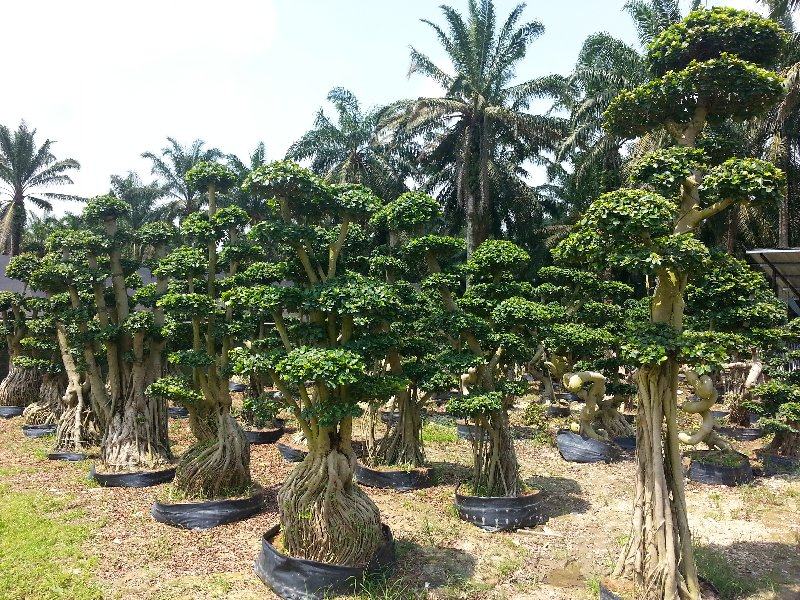 new arrival bonsai