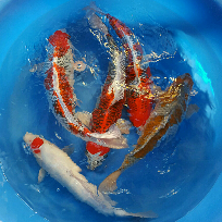 Ogata Farm 2 years old mixed varieties koi